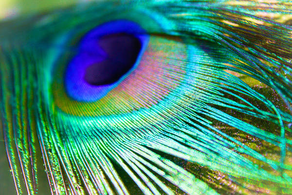 Photograph - Feather 3 by Stacey Rosebrock