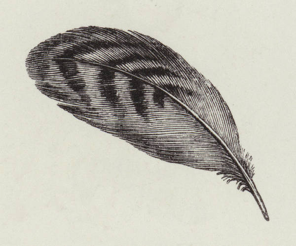 Decorative Drawing - Feather by English School