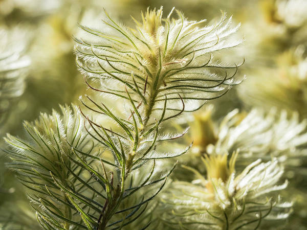 Photograph - Featherheads by Robin Zygelman