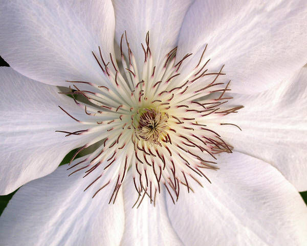 Photograph - Feathery Flower by Marie Leslie