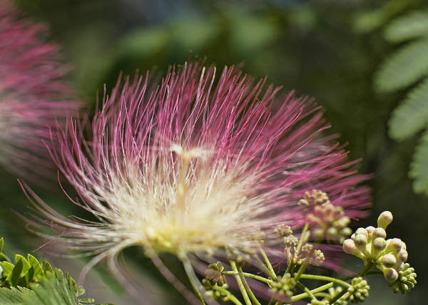 Photograph - Feathery Mimosa Blooms by Cricket Hackmann