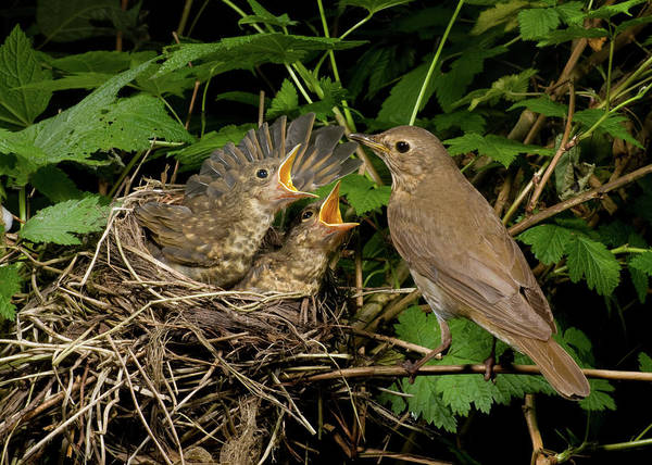 Swainsons Thrush Photograph - Feed Me First by Damon Calderwood
