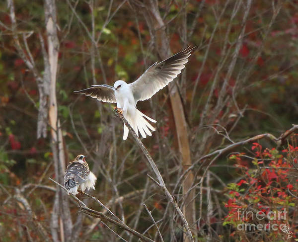 White-tailed Kite Photograph - Feed Me Please by Cheryl Gidding