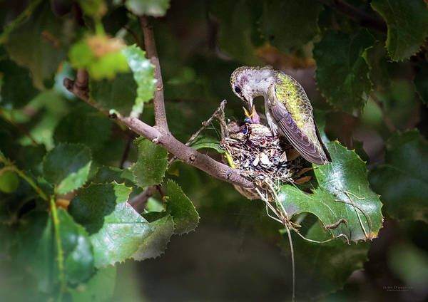 Photograph - Feeding Baby Hummingbird by Judi Dressler