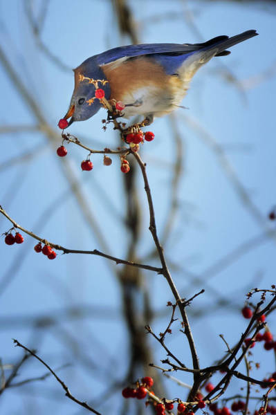 Photograph - Feeding Bluebird by Bill Wakeley