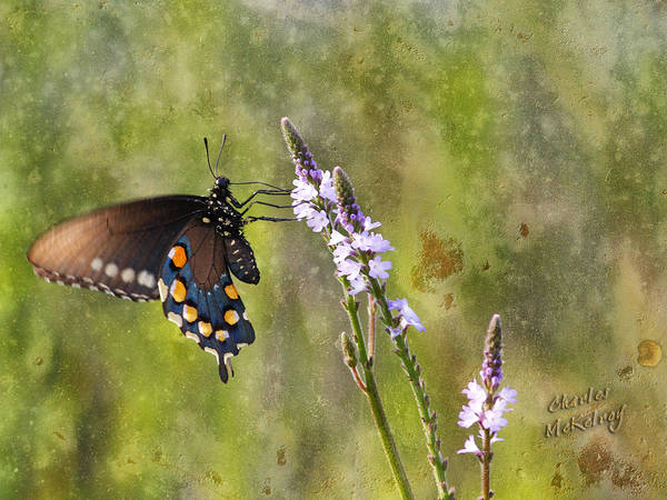 Photograph - Feeding Butterfly by Charles McKelroy