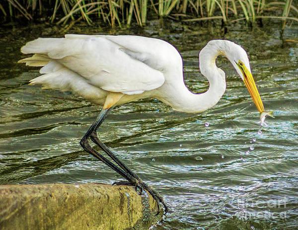 Photograph - Feeding Egret by Nick Zelinsky