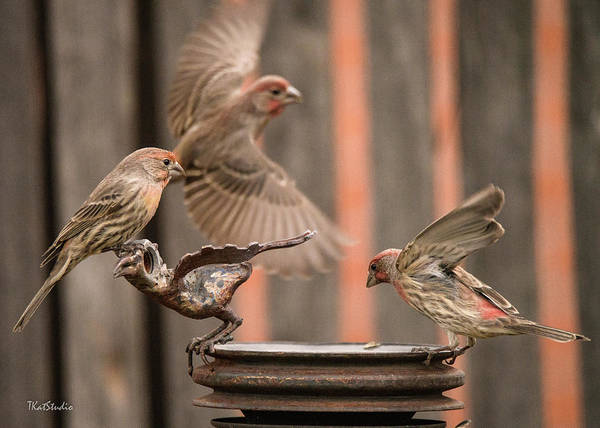 Feeding Finches Art Print