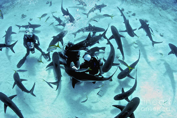 Carcharhinidae Photograph - Feeding Frenzy Of Caribbean Reef Sharks by Amanda Nicholls