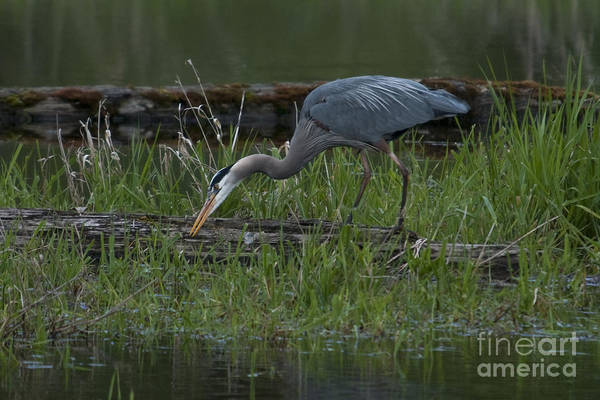 Mission Bc Photograph - Feeding Heron by Rod Wiens