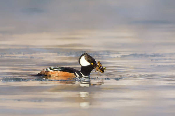 Photograph - Feeding Hooded Merganser by Bill Wakeley
