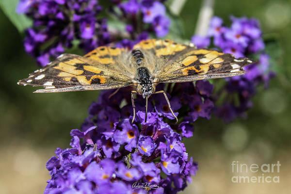 Photograph - Thirsty Monarch by Adam Morsa
