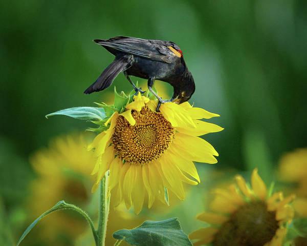 Wall Art - Photograph - Sunflower Feast - Red-winged Blackbird by Nikolyn McDonald