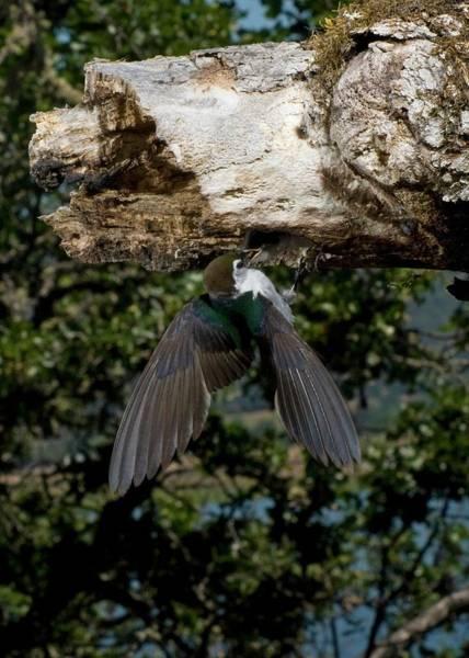 Violet-green Swallow Photograph - Feeding On The Go by Damon Calderwood