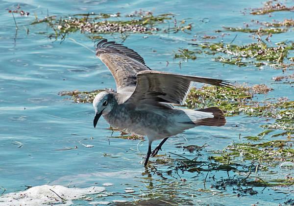 Photograph - Feeding Seagull by Bob Slitzan