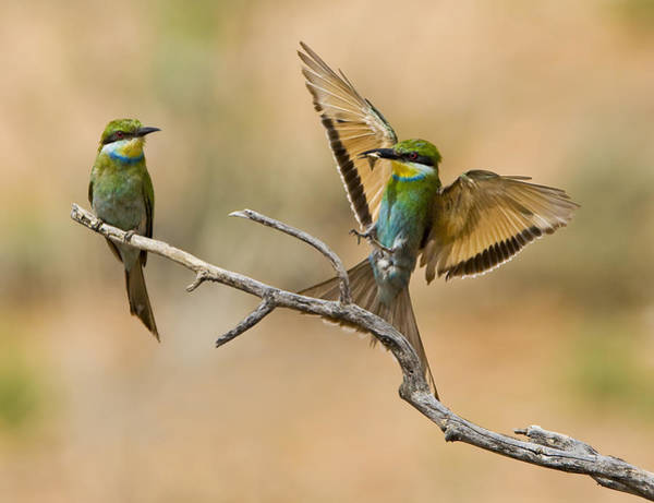 Wall Art - Photograph - Feeding Swallow-tailed Bee-eaters by Basie Van Zyl