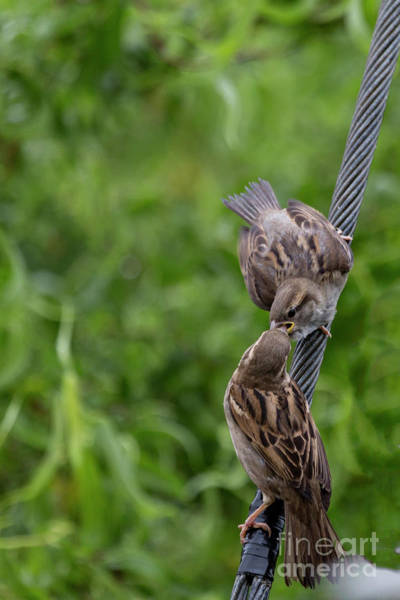 House Sparrow Photograph - Feeding Time by Brian Roscorla