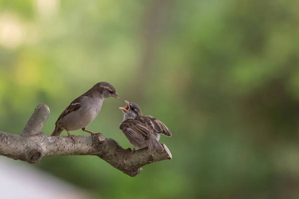 Photograph - Feeding Time House Sparrows by Terry DeLuco