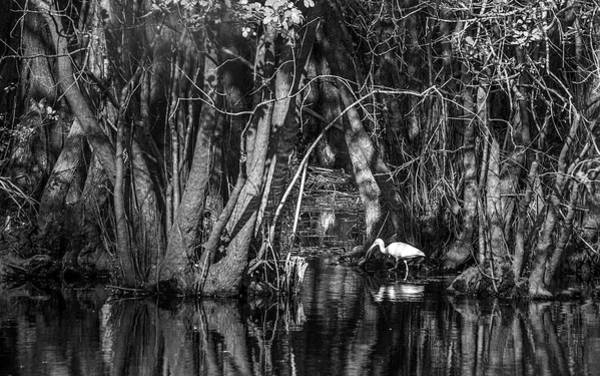 White Ibis Wall Art - Photograph - Feeding Time by Marvin Spates