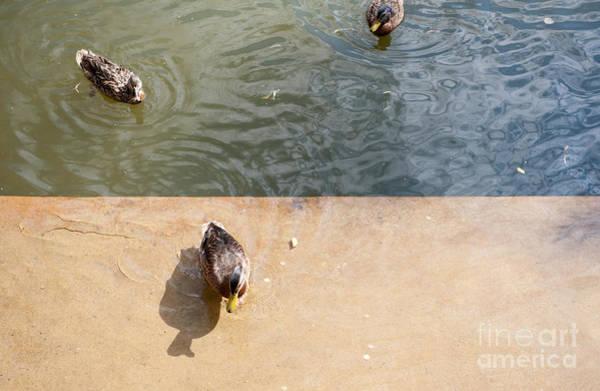 Wall Art - Photograph - Feeding Wild Ducks With Bread by Arletta Cwalina