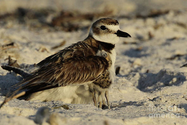 Photograph - Feeling Safe - Wilson's Plover by Meg Rousher