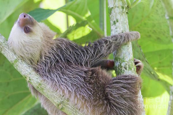 Photograph - Feeling Slothful by Chris Scroggins