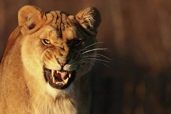 Photograph - Feisty Lioness by Tazi Brown