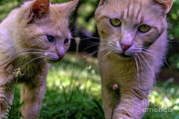 Photograph - Feline Best Friends Skippy And Lovey 0369 by Ricardos Creations