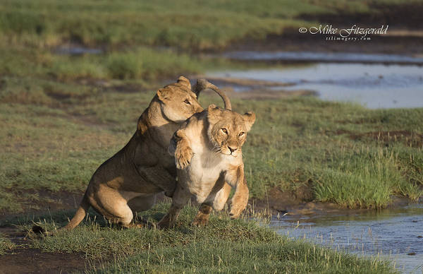 Photograph - Feline Fun by Mike Fitzgerald