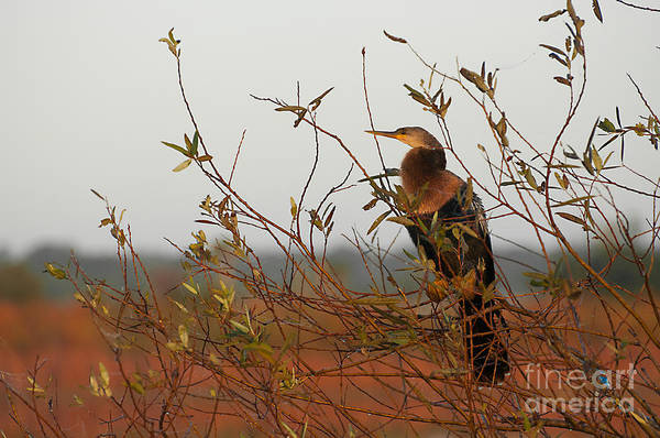 Photograph - Female Anhinga In A Tree by Photos By Cassandra