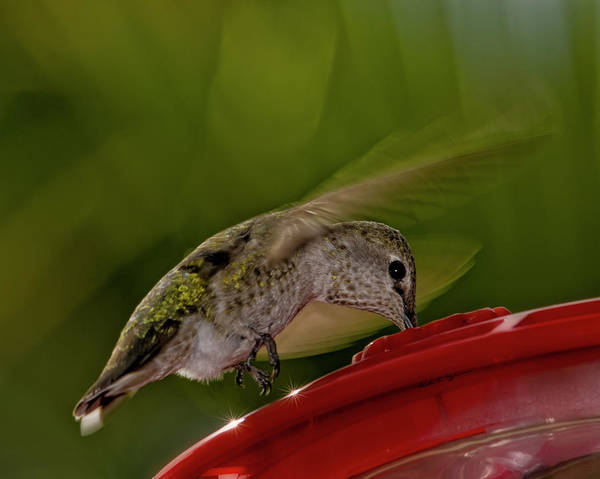 Photograph - Female Anna's Hummingbird H40 by Mark Myhaver
