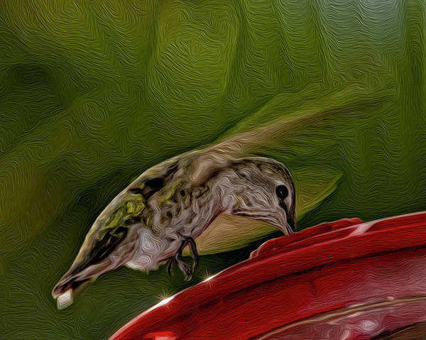 Photograph - Female Anna's Hummingbird Op41 by Mark Myhaver