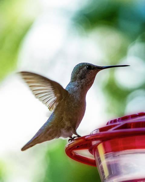 Photograph - Female Anna's Hummingbird V24 by Mark Myhaver