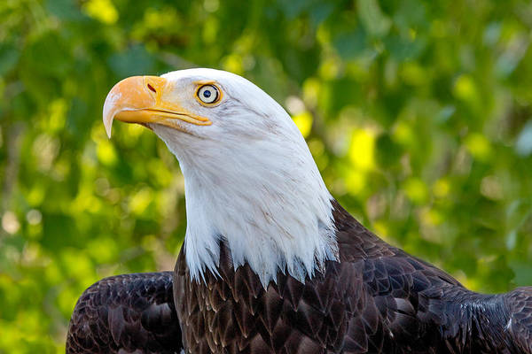 Wall Art - Photograph - Female Bald Eagle Portrait by Dawn Key