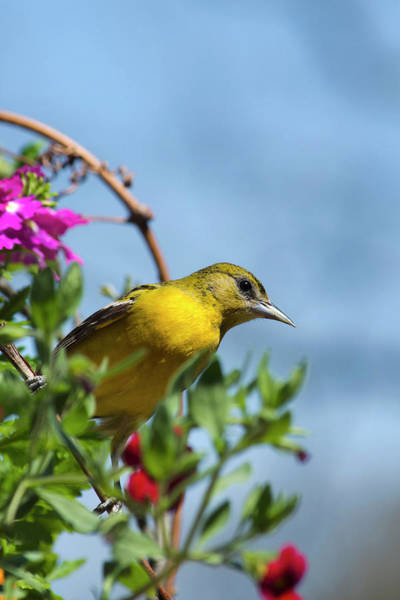 Photograph - Female Baltimore Oriole In A Flower Basket by Christina Rollo