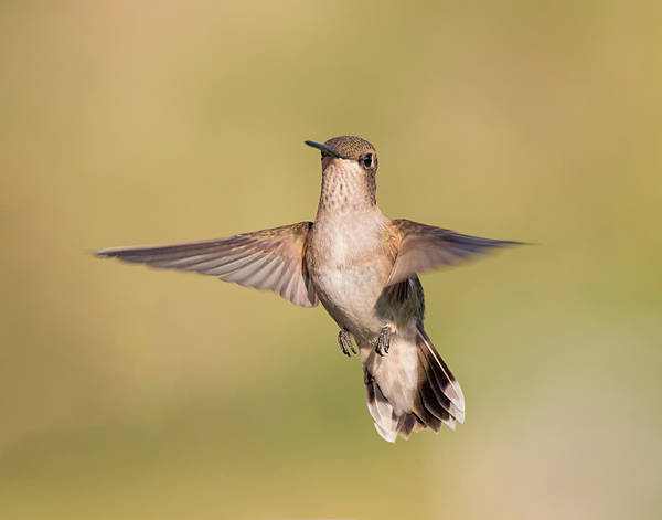 Photograph - Female Black Chinned Hummingbird by Loree Johnson