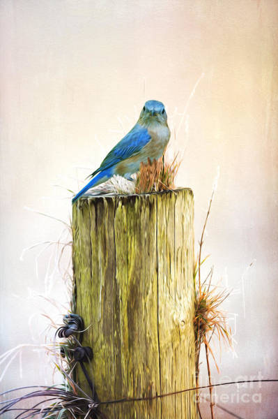 Wall Art - Photograph - Female Blue Bird On Post by Laura D Young