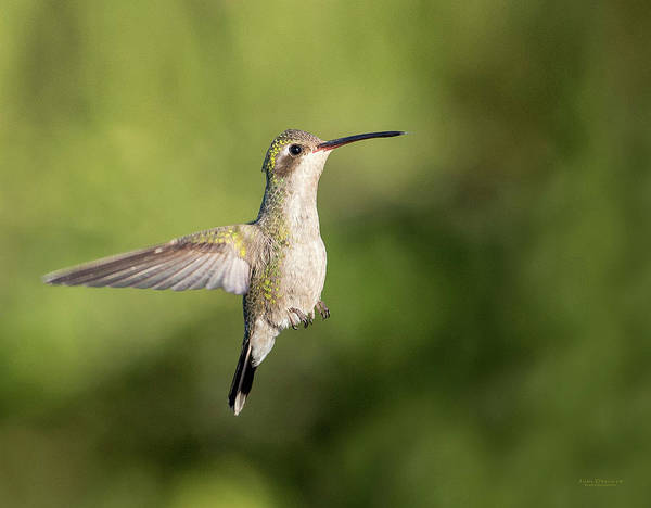 Photograph - Female Broad-billed Hummingbird by Judi Dressler