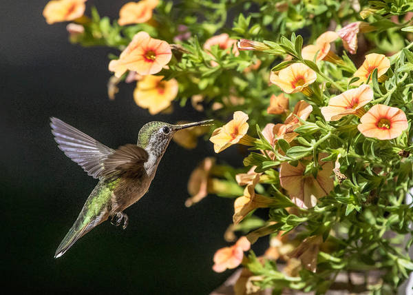 Photograph - Female Broad-tailed Hummingbird And Orange Miniature Petunias by Dawn Key
