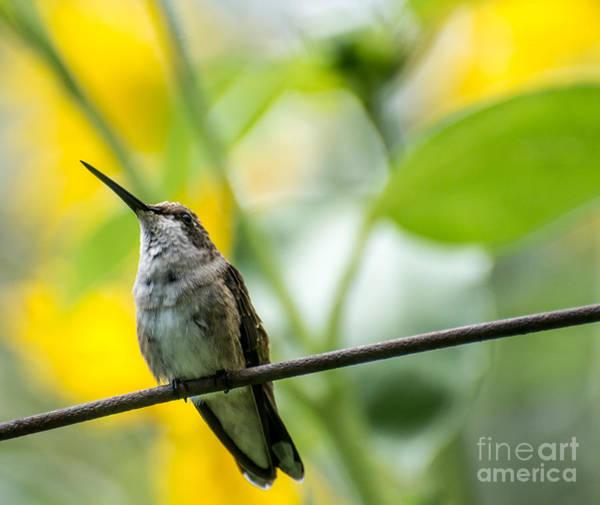 Broad-tailed Hummingbird Photograph - Female Broad-tailed Hummingbird With Sunflowers 3 - Utah by Gary Whitton