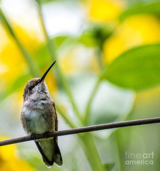 Broad-tailed Hummingbird Photograph - Female Broad-tailed Hummingbird With Sunflowers 4 - Utah by Gary Whitton