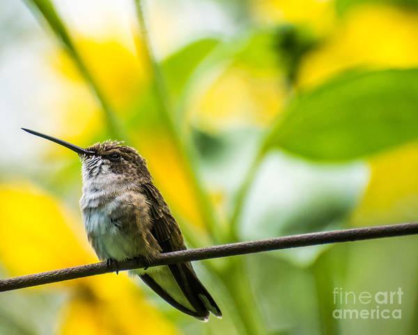Broad-tailed Hummingbird Photograph - Female Broad-tailed Hummingbird With Sunflowers - Utah by Gary Whitton