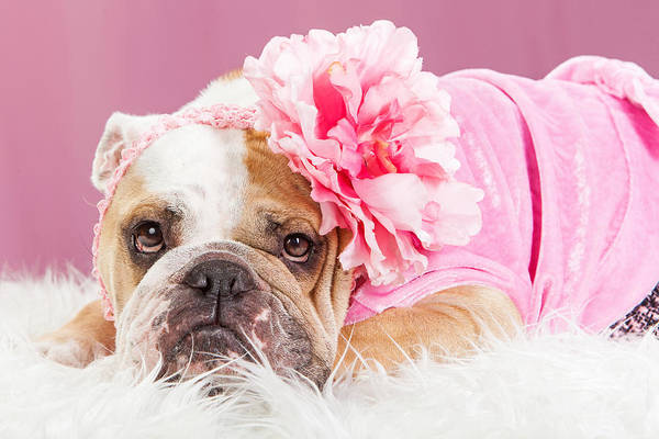 Headband Photograph - Female Bulldog Wearing Pink Outfit And Flower by Susan Schmitz