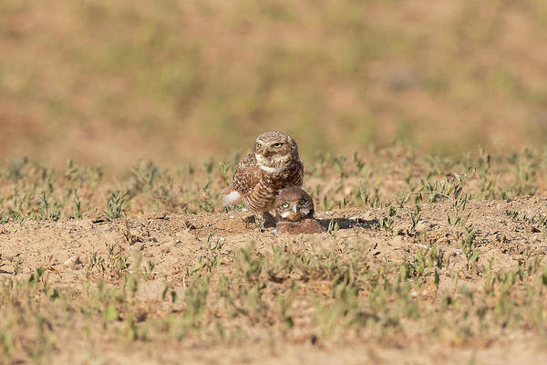 Photograph - Female Burrowing Owl And Her Owlet by Tony Hake