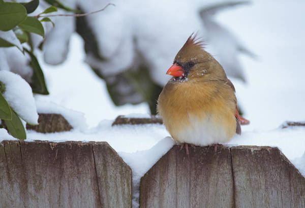 Photograph - Female Cardinal by Amanda Rimmer