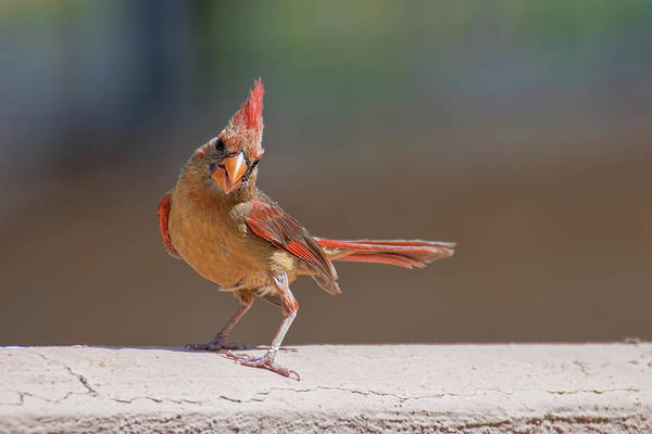 Photograph - Female Cardinal by Dan McManus
