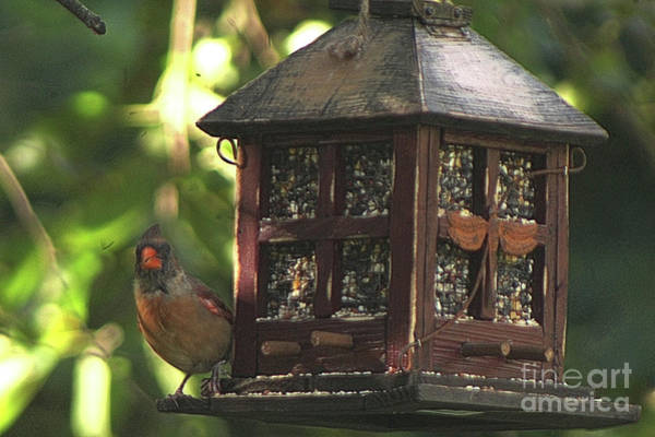 Wire Wrap Photograph - Female Cardinal Evening At The Feeder by Scott D Van Osdol