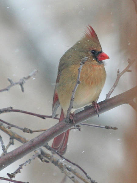Wall Art - Photograph - Female Cardinal In A Tree by Laurie With