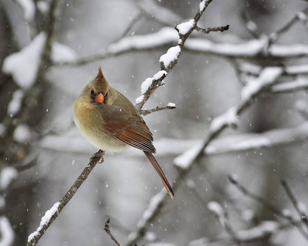 Female Cardinal Photograph - Female Cardinal In Snow by Rob Travis