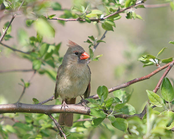 Wall Art - Photograph - Female Cardinal In The Apple Tree by Laurie With
